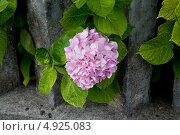Розовая гортензия. Стоковое фото, фотограф Петеляева Татьяна / Фотобанк Лори