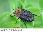 Купить «Мертвоед красногрудый (Oiceoptoma thoracicum)», фото № 4926683, снято 1 июня 2013 г. (c) Забалуев Игорь Анатолич / Фотобанк Лори
