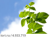 Ветка малины с зелеными листьями на фоне неба. Стоковое фото, фотограф Максим Савин / Фотобанк Лори