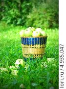 Купить «Желтые яблоки в плетеной корзине», фото № 4935047, снято 1 июня 2020 г. (c) Елена Шуршилина / Фотобанк Лори