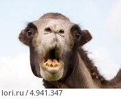 Купить «Смешной портрет верблюда», фото № 4941347, снято 5 августа 2013 г. (c) Куликова Вероника / Фотобанк Лори