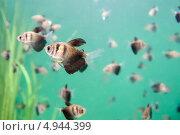 Полосатые рыбки в голубой воде. Стоковое фото, фотограф Вероника Конкина / Фотобанк Лори