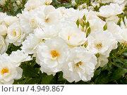 Купить «Белые розы», фото № 4949867, снято 25 мая 2012 г. (c) ИВА Афонская / Фотобанк Лори