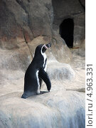 Купить «Пингвин Гумбольдта (Spheniscus humboldti). Московский зоопарк», фото № 4963331, снято 17 января 2019 г. (c) Боев Дмитрий / Фотобанк Лори