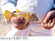Пойманная рыба - Кузовок–кубик (Yellow boxfish) Стоковое фото, фотограф Роман Прохоров / Фотобанк Лори