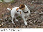 Собака породы Джек Рассел терьер. Стоковое фото, фотограф Argument / Фотобанк Лори