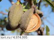 Спелый миндаль, растущий на дереве на фоне голубого неба. Стоковое фото, фотограф Ольга / Фотобанк Лори