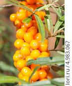 Купить «Ветка с ягодами облепихи (крупный план)», фото № 4983067, снято 9 августа 2013 г. (c) E. O. / Фотобанк Лори