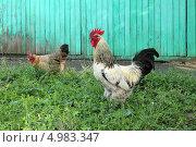 Купить «Петух и курица на птичьем дворе», эксклюзивное фото № 4983347, снято 2 августа 2013 г. (c) Ирина Водяник / Фотобанк Лори