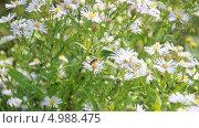 Купить «Пчела на цветах многолетней (Aster) осенней астры», эксклюзивный видеоролик № 4988475, снято 23 июля 2013 г. (c) Алёшина Оксана / Фотобанк Лори