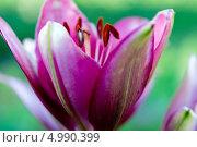 Лилия - цветок. Стоковое фото, фотограф Юлия Киктенко / Фотобанк Лори