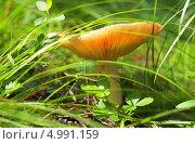 Гриб - сыроежка. Стоковое фото, фотограф Евгений Мухортов / Фотобанк Лори