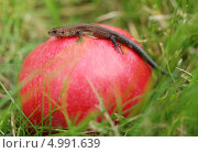 Маленькая ящерица на красном яблоке. Стоковое фото, фотограф Чернова Анна / Фотобанк Лори
