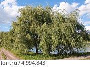 Купить «Ива белая (Salix alba) на ветру», эксклюзивное фото № 4994843, снято 16 августа 2013 г. (c) Алёшина Оксана / Фотобанк Лори