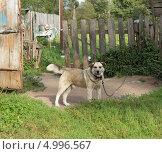 Купить «Сторожевой пес на цепи», фото № 4996567, снято 8 августа 2013 г. (c) Любовь Назарова / Фотобанк Лори