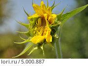 Цветок подсолнуха. Стоковое фото, фотограф Иванова Ирина / Фотобанк Лори