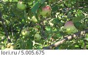 Купить «Яблоки на яблоне крупным планом», видеоролик № 5005675, снято 31 августа 2013 г. (c) Андрей Некрасов / Фотобанк Лори