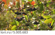 Купить «Ягоды черноплодной рябины», видеоролик № 5005683, снято 31 августа 2013 г. (c) Андрей Некрасов / Фотобанк Лори