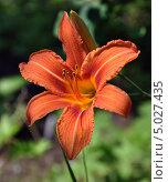 Купить «Оранжевый лилейник (лат. Hemerocallis)», фото № 5027435, снято 2 июля 2013 г. (c) Анна Маркова / Фотобанк Лори
