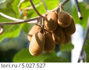 Спелые плоды киви на ветке. Стоковое фото, фотограф Попкова Ольга / Фотобанк Лори