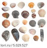 Ракушки молюсков Черного моря на белом фоне. Стоковое фото, фотограф Наталья Алексахина / Фотобанк Лори