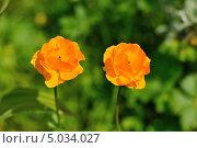 Цветы Купальницы на зеленом фоне (Республика Алтай) Стоковое фото, фотограф Koshman Anastasiya / Фотобанк Лори