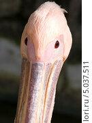Портрет пеликана крупно в анфас. Стоковое фото, фотограф Юрий Игнатьев / Фотобанк Лори