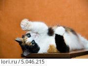 Трехцветная кошка. Стоковое фото, фотограф юлия юрочка / Фотобанк Лори
