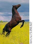 Гнедая лошадь на дыбах в летнем поле. Стоковое фото, фотограф Титаренко Елена / Фотобанк Лори