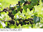 Купить «Черная смородина», фото № 5052351, снято 24 июля 2013 г. (c) Володина Ольга / Фотобанк Лори