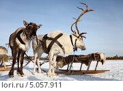 Купить «Северные олени в упряжке», фото № 5057911, снято 25 февраля 2012 г. (c) Владимир Мельников / Фотобанк Лори