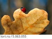 Божья коровка на жёлтом дубовом листе. Стоковое фото, фотограф Вероника Конкина / Фотобанк Лори