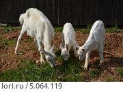 Коза с козлятами щиплют траву у забора. Стоковое фото, фотограф Евгений Волвенко / Фотобанк Лори