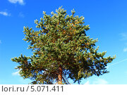 Дерево сосна на фоне синего неба. Стоковое фото, фотограф Андрей Голяк / Фотобанк Лори