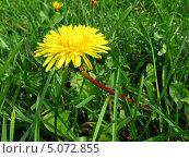 Цветок одуваничка в траве. Стоковое фото, фотограф Михаил Дозоров / Фотобанк Лори
