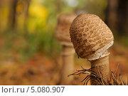 Гриб зонтик. Стоковое фото, фотограф Андрей Горшков / Фотобанк Лори