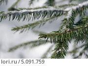 Заснеженные веточки сосны. Стоковое фото, фотограф Ирина Яздан Мехр / Фотобанк Лори