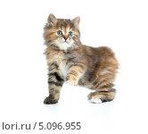 Забавный черепаховый котенок породы курильский бобтейл. Стоковое фото, фотограф Андрей Кузьмин / Фотобанк Лори