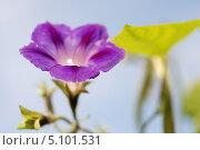 Сиреневый цветок вьюна на фоне голубого неба. Стоковое фото, фотограф Чернова Анна / Фотобанк Лори
