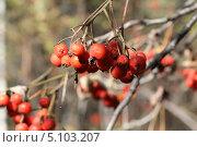 Рябина в лесу. Стоковое фото, фотограф Яковлева Анастасия / Фотобанк Лори