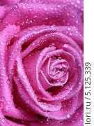 Купить «Нежный цветок розы в каплях воды крупным планом», фото № 5125339, снято 11 января 2008 г. (c) Иван Михайлов / Фотобанк Лори