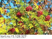 Купить «Рябина осенью», эксклюзивное фото № 5128327, снято 6 октября 2013 г. (c) Татьяна Белова / Фотобанк Лори