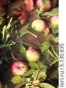 Упавшие красные яблоки лежат на земле в воде, осень. Стоковое фото, фотограф Попкова Ольга / Фотобанк Лори