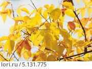 Купить «Желтые листья», эксклюзивное фото № 5131775, снято 8 октября 2013 г. (c) Алексей Букреев / Фотобанк Лори