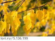Купить «Ветка берёзы с желтыми листьями», фото № 5136199, снято 1 октября 2013 г. (c) Игорь Ткачёв / Фотобанк Лори