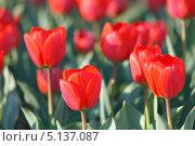 Купить «Сортовые красные садовые тюльпаны Геснера, Tulipa gesneriana (малая глубина резкости)», фото № 5137087, снято 12 апреля 2013 г. (c) Ольга Липунова / Фотобанк Лори