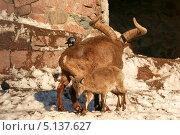 Купить «Дагестанские туры (Capra cylindricornis). Самец с большими рогами и маленький козленок», эксклюзивное фото № 5137627, снято 24 февраля 2013 г. (c) Щеголева Ольга / Фотобанк Лори