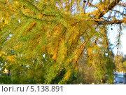 Ветка лиственницы осенью. Стоковое фото, фотограф Юрий Василенко / Фотобанк Лори