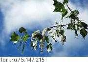 Купить «Ветка тополя с листьями и пухом на фоне синего неба», эксклюзивное фото № 5147215, снято 5 июня 2011 г. (c) lana1501 / Фотобанк Лори
