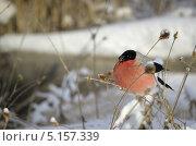 Нахохлившийся снегирь. Стоковое фото, фотограф Александр Соловьев / Фотобанк Лори